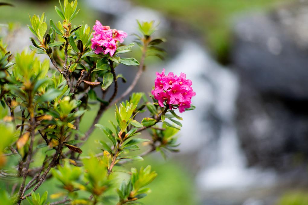 _DSC0409-GranParadiso-Flora